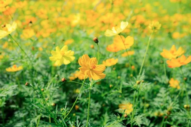 Cosmos plant on springtime