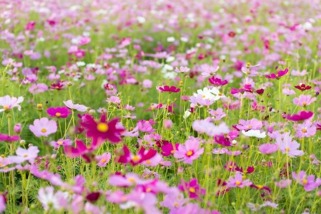 Космос красный, розовый, белый цветущий в саду