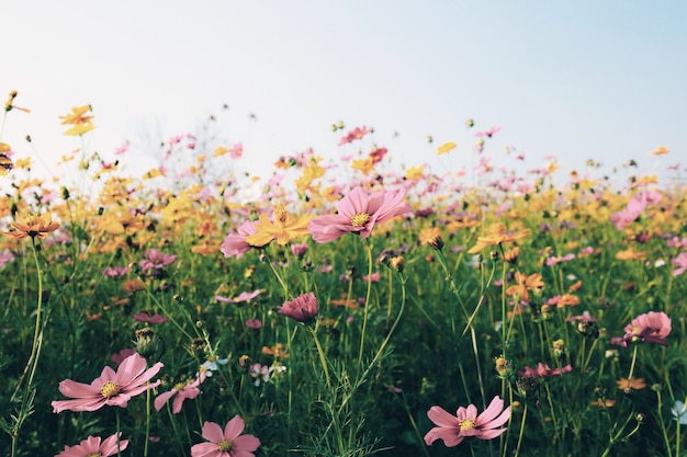 Cosmos at the sunlight.
