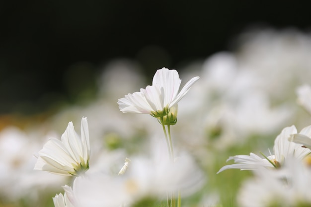 Cosmos white color with leave in the field