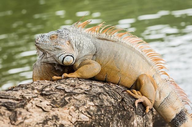 Costa rica tortuguero iguana