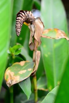 背景をぼかした写真の乾燥costus woodsoniiスパイラルジンジャーの花