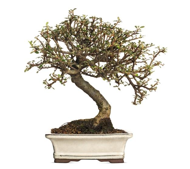 Cotoneaster bonsai 나무, 흰색 절연