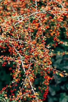 Cotoneaster bush with red ripe berries on the branches.