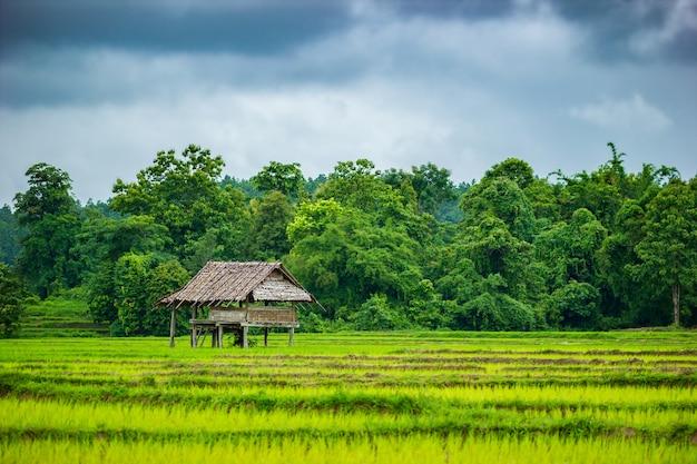 논에서 별장. 비오는 계절에 회색 흐린 하늘. 농업의 개념입니다.