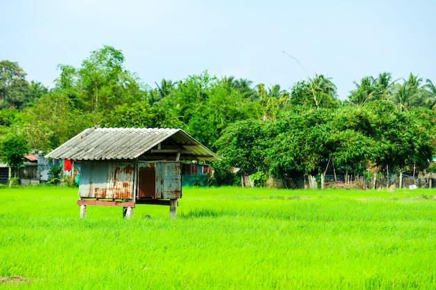 The cottage is surrounded by green rice fields and tree