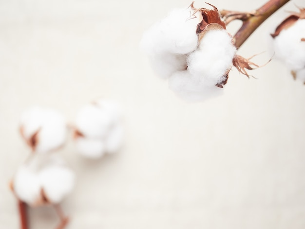 Cotton blossom close-up view,background out of focus