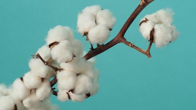 면 가지 빛에 진짜 섬세하고 부드럽고 부드러운 천연 흰색 면화 꽃 가지