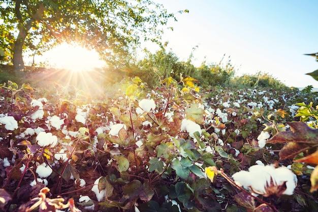 일출의 목화 밭. 가을 시즌.