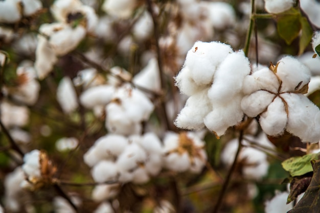 Cotton field plantation texture background