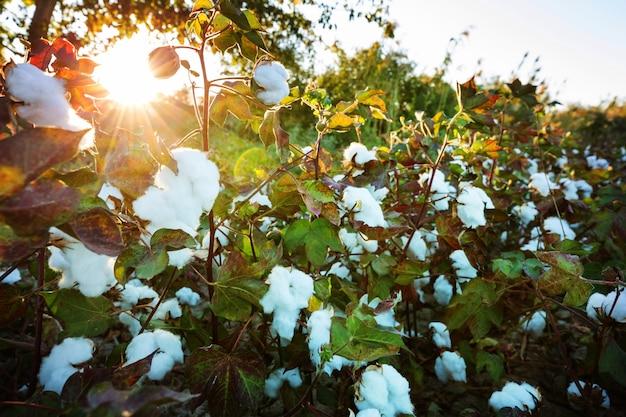 Cotton field at sunrise. autumn season.