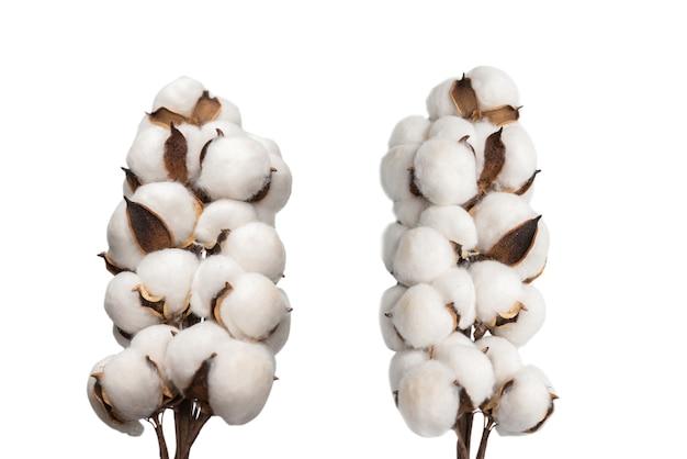 白い表面に分離された綿の花の枝。上面図。