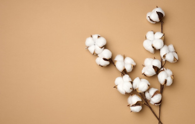 Cotton flower on pastel beige paper background, overhead. minimalism flat lay composition, copy space