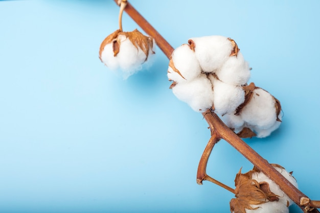 Cotton flowers branch on a blue background. copy space