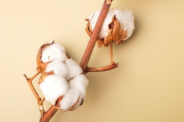 色付きの背景に綿の花。コピースペース