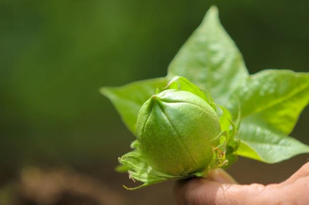Cotton fruit on hand