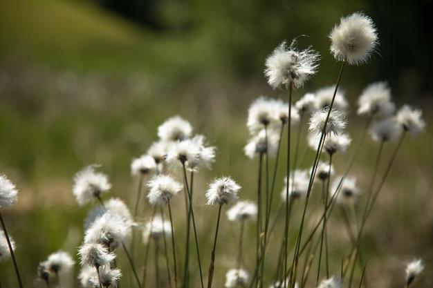 Cotton grass eriophorum vaginatum