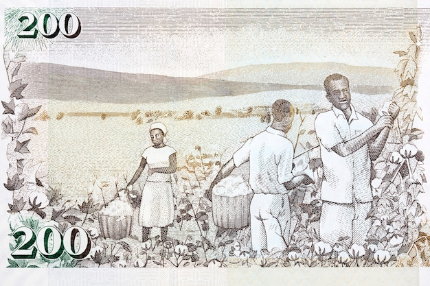 Cotton harvest from old kenyan money