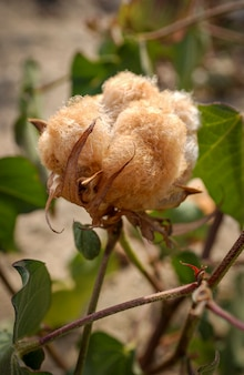 Cotton naturally colored organic and agroecological produced in campina grande paraiba brazil