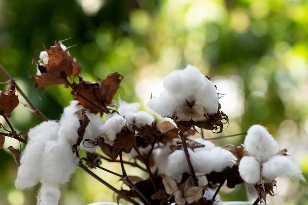 自然の綿またはgossypiumhirsutum。