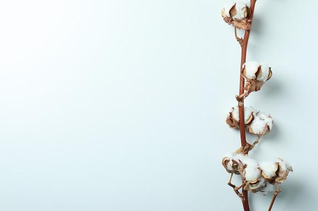 Cotton plant branch on white