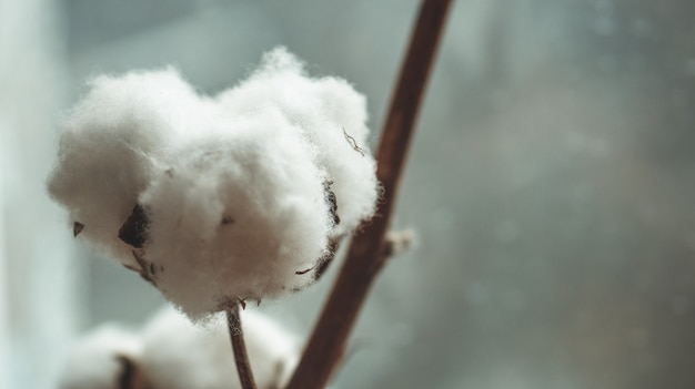 綿植物の花。綿花の枝