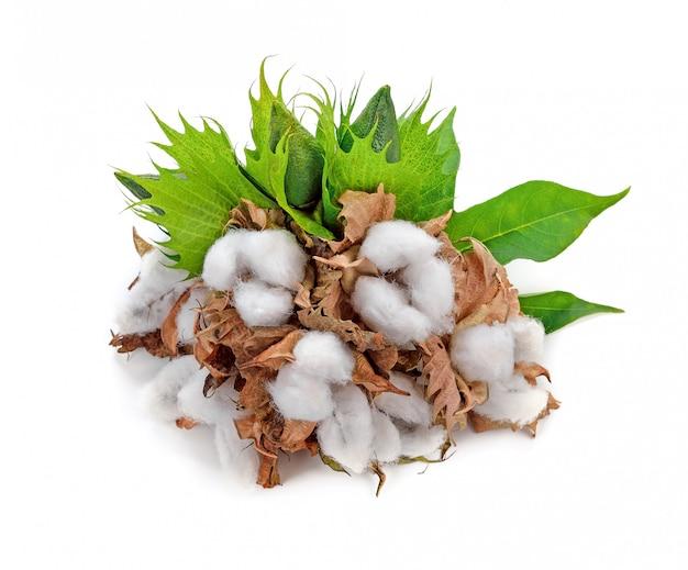 白い背景で隔離の綿植物の花