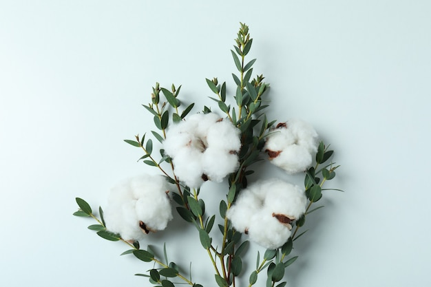Cotton plant flowers and branch with leaves on white