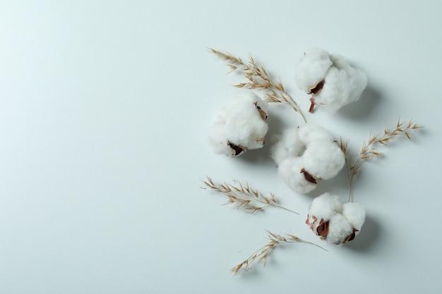 Cotton plant flowers on white