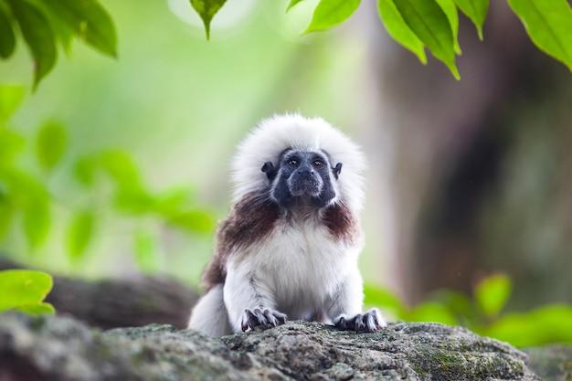 A cotton-top tamarin monkey
