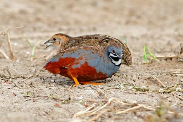 ボタンウズラブルーブレストウズラcoturnix chinensisタイの美しい鳥