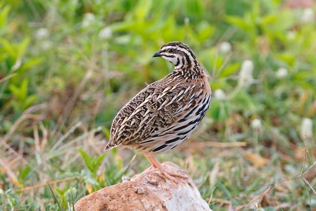 雨の鳴き声coturnix coromandelicaタイの男性美しい鳥