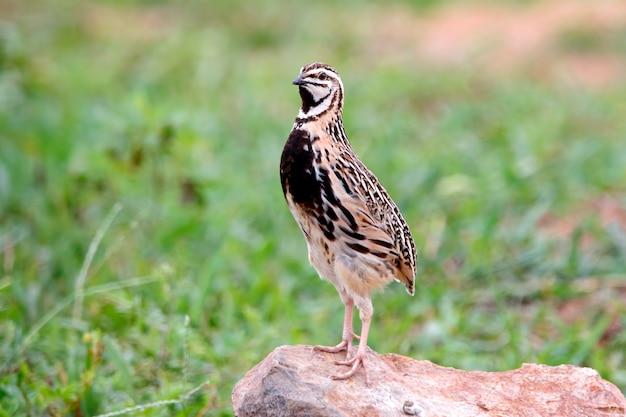 雨の鳴き声coturnix coromandelicaタイの美しい男性の鳥