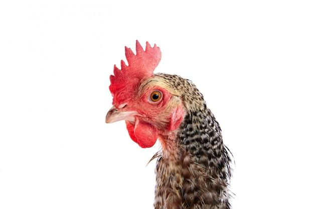 フランスのcoucou cou marans鶏