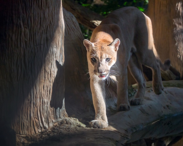 Cougar, puma, mountain lion,in the natural atmosphere of the zoo.