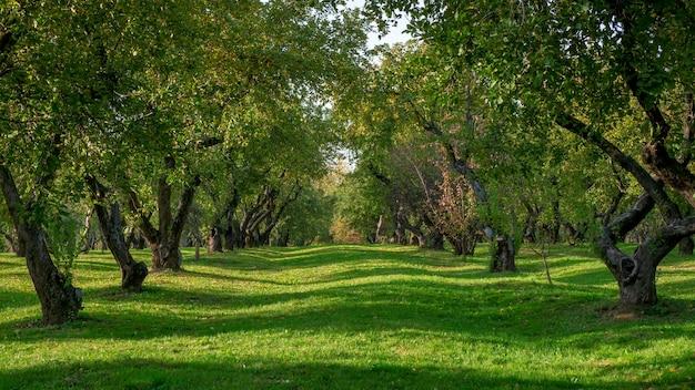 国の緑の風景。夏の果樹園。古い果樹のある緑の芝生。全景。