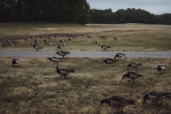 сельский пейзаж, гуси переходят дорогу