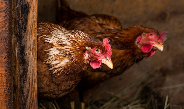 巣の中のカントリーライフスタイルコンセプト鶏