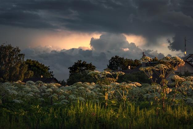 Загородная плантация борщевика. цветы борщевика растут в вечернем поле
