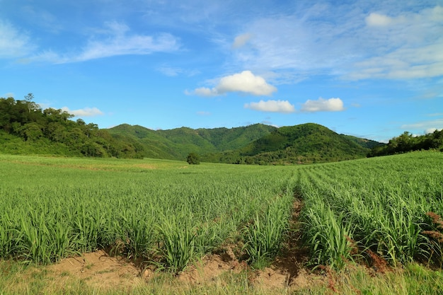 Country side view with sugar cane in the cane fields with mountain background. nature & agriculture.