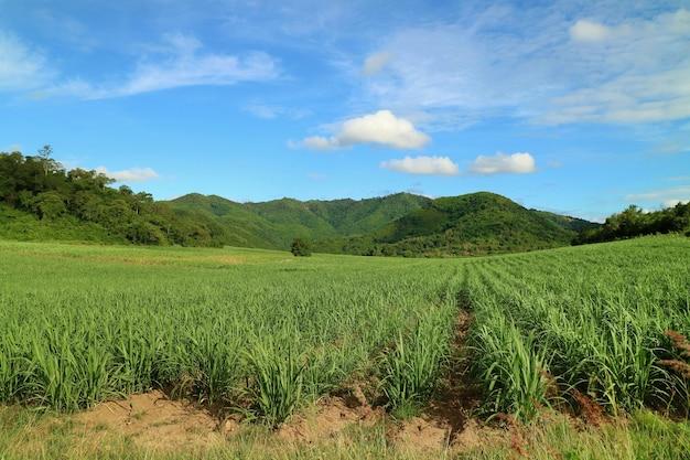 山を背景にしたサトウキビ畑のサトウキビの田園風景。自然と農業。