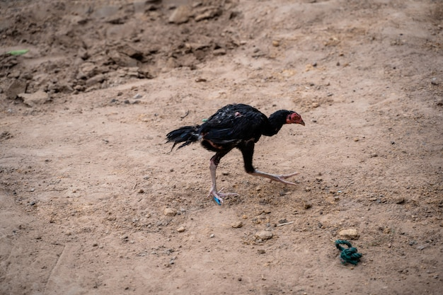 A countryside chicken walking on the ground to find food on morning.