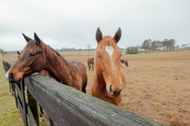 Сельское поле и лошади идиллический сельский пейзаж туманное утро на ферме лошади крупным планом портрет