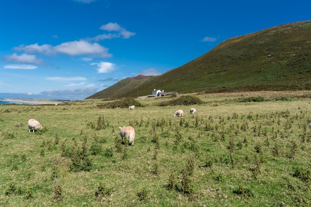 Countryside. group of sheeps grazing and a farmhouse background.