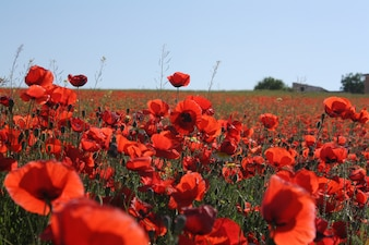 Countryside landscape with red poppies