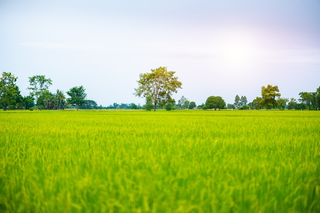 Countryside scenery of rice field