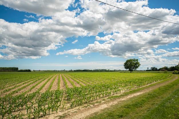 春にとうもろこし畑のある田園地帯、とうもろこし畑を収穫する