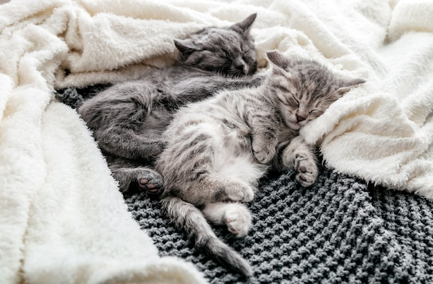 Couple of 2 kittens are sleeping embracing on gray bed covered white blanket. hugs love 2 cats. family of purebred cats. domestic pets have comfortably tender rest.