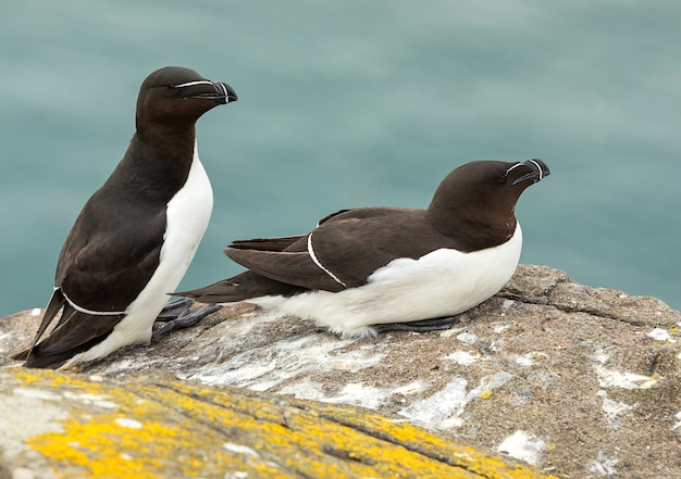 Couple of adult razorbills are relaxing on cliff under warm sunlights. isle of may. scotland. uk