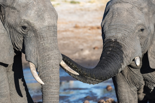 Couple of african elephant at waterhole. wildlife safari in the chobe national park, travel destination in botswana, africa.